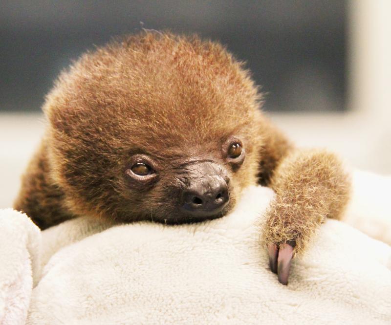 Baby-Sloth-4