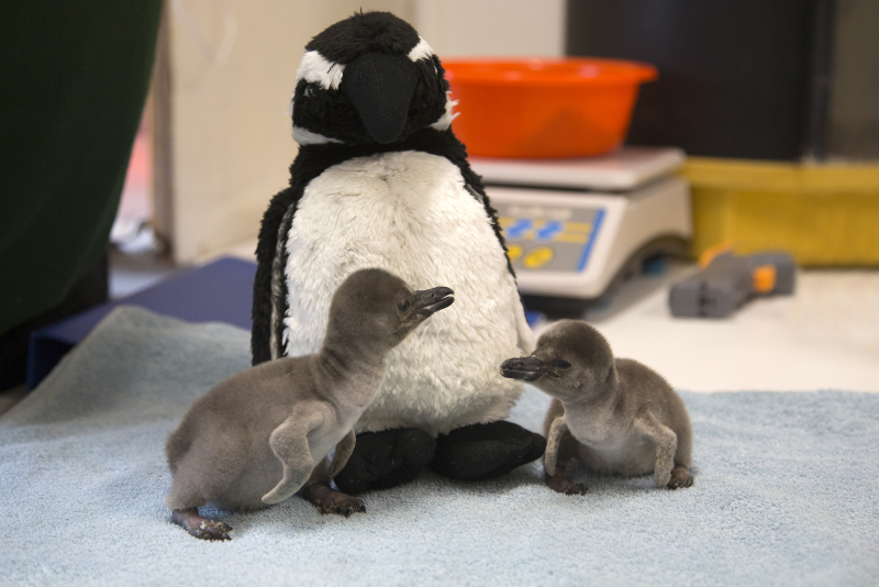 1_Easter penguin chicks (ZSL London Zoo) (5)