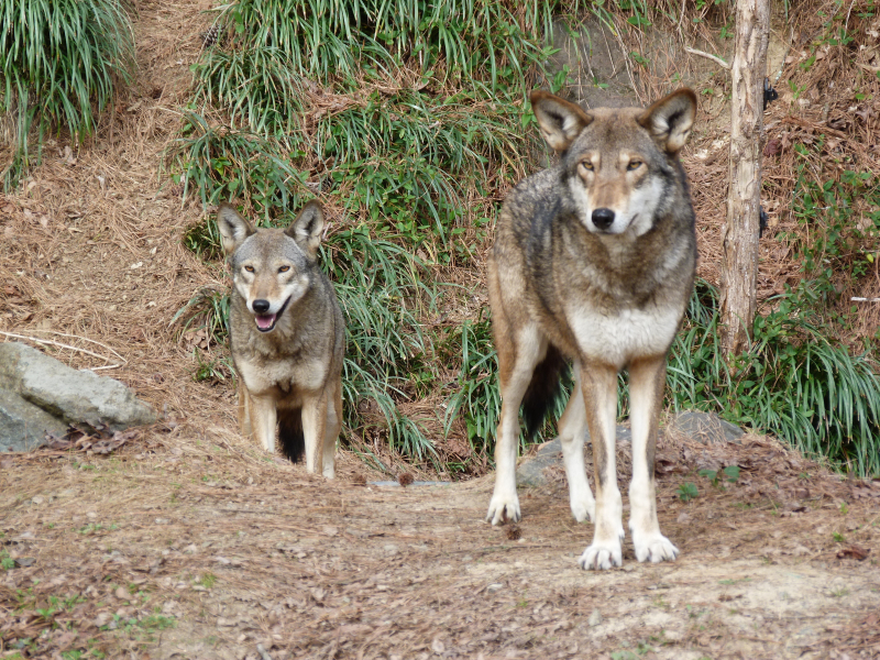 6_Red wolf parent pair.Museum of Life and Science 2