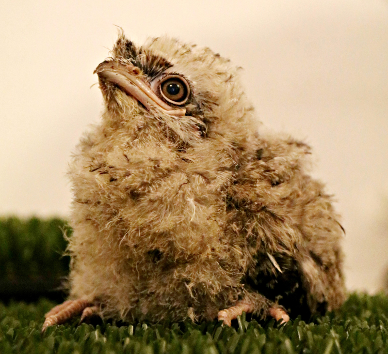 Tawny Frogmouth Chick - Paradise Park Cornwall