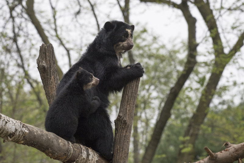 3_Julie Larsen Maher_1431_Andean Bear and Cub_QZ_05 01 17