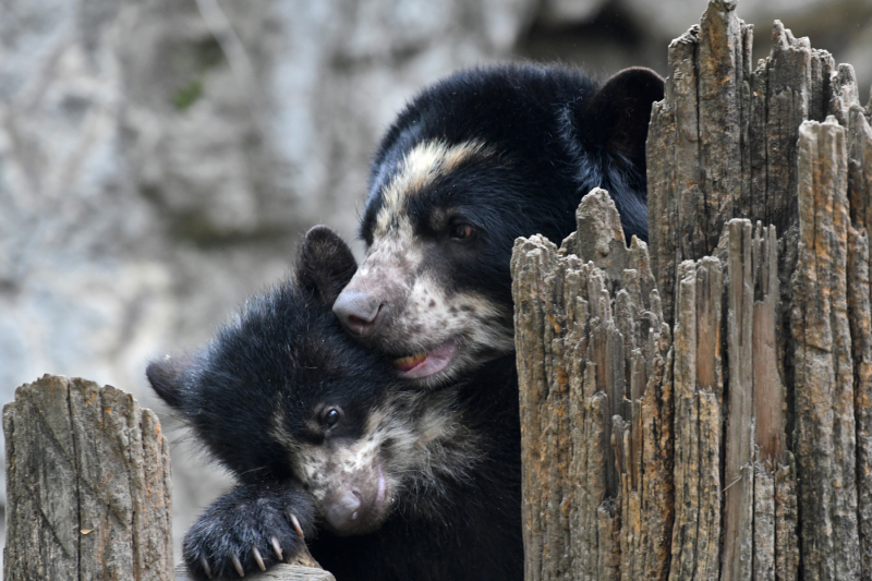 5_Megan Maher_4406_Andean Bear Cub_QZ_05 01 17