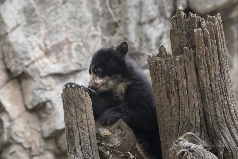 6_Julie Larsen Maher_1389_Andean Bear and Cub_QZ_05 01 17