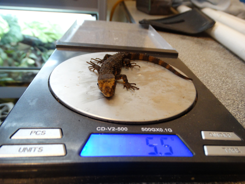 6_Weighing Chinese Crocodile Lizard baby (5.5 grams)