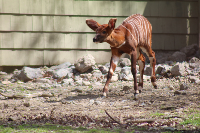 5_bongo baby April 2017- Credit Zoo New England (2)