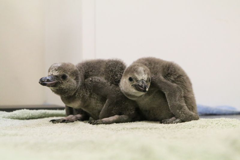 Two penguin Chicks 3 - Paradise Park
