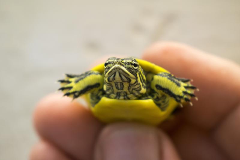 2_baby chicken turtle front