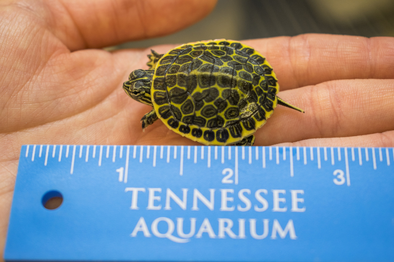 3_baby chicken turtle with ruler
