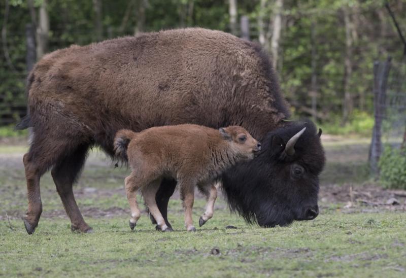 9_Julie Larsen Maher_3714_American Bison and Calves_BZ_05 03 17