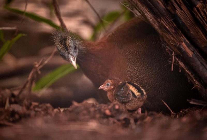 8_Rare pheasant chicks hatch in Chester Zoo first  (12)