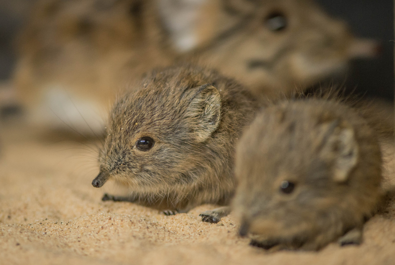 Tiny sengi twins born at Chester Zoo (13)