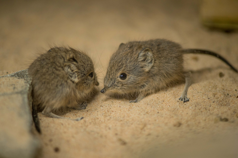 Tiny sengi twins born at Chester Zoo (3)