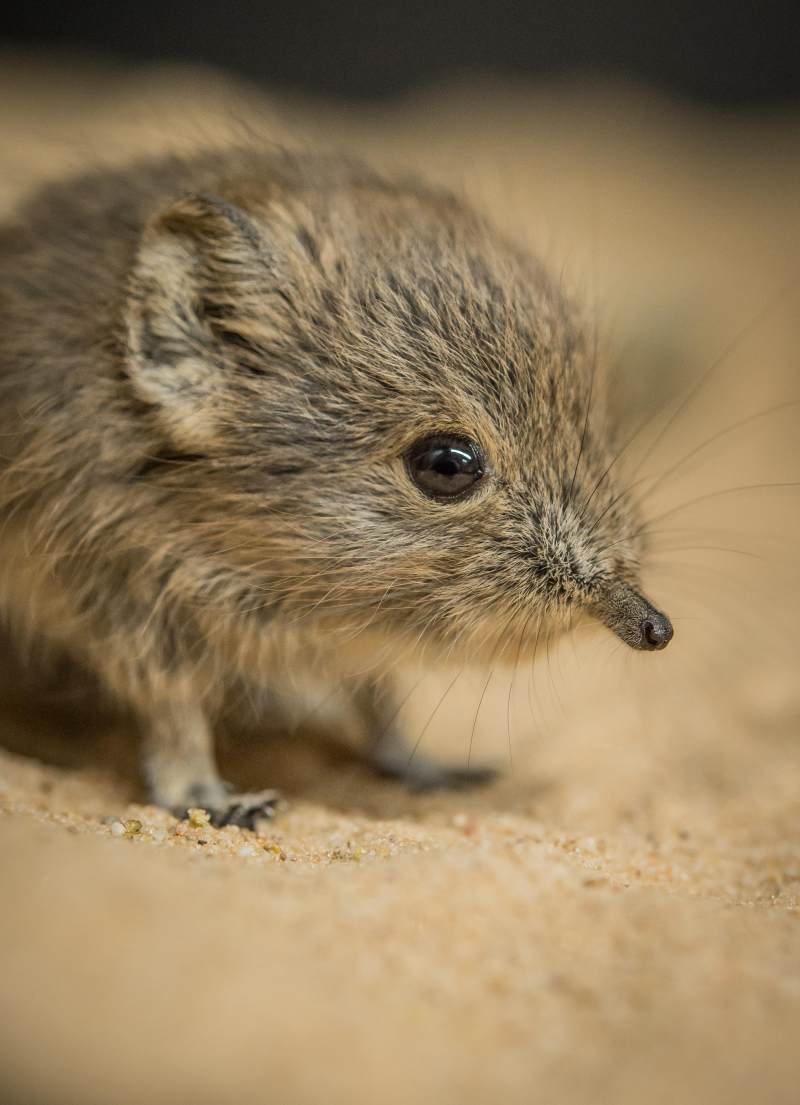 Tiny sengi twins born at Chester Zoo (1)