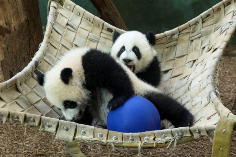 Ya Lun and Xi Lun_Zoo Atlanta