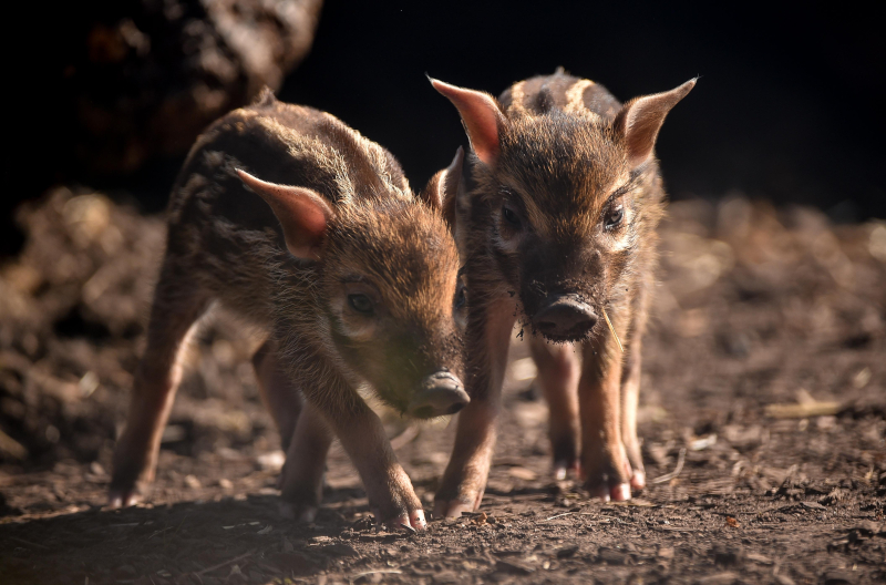 !Tiny trotters! Red river hog piglets born at Chester Zoo (4)