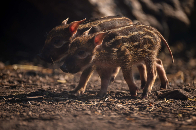 !Tiny trotters! Red river hog piglets born at Chester Zoo (1)