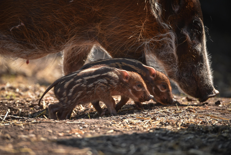 Tiny trotters! Red river hog piglets born at Chester Zoo (9)