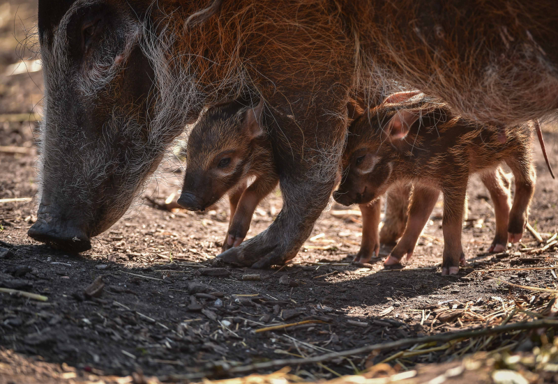 Tiny trotters! Red river hog piglets born at Chester Zoo (10)