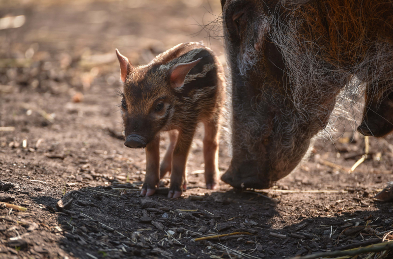 Tiny trotters! Red river hog piglets born at Chester Zoo (11)