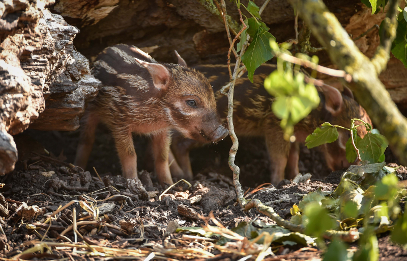 Tiny trotters! Red river hog piglets born at Chester Zoo (23)