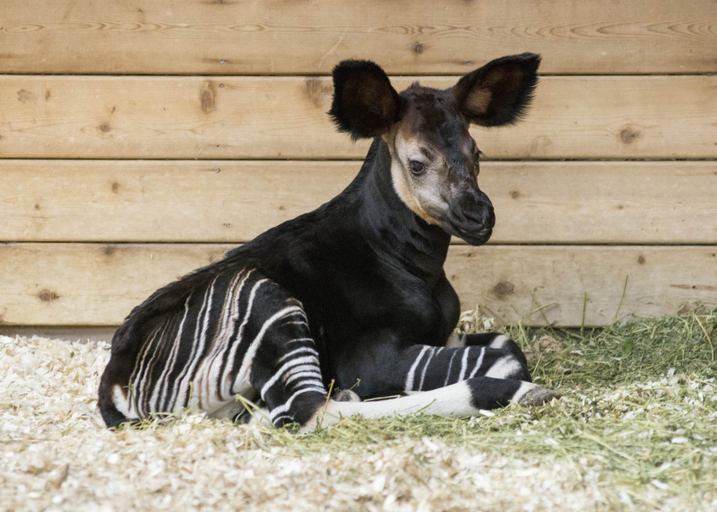 3_Brookfield Okapi 1