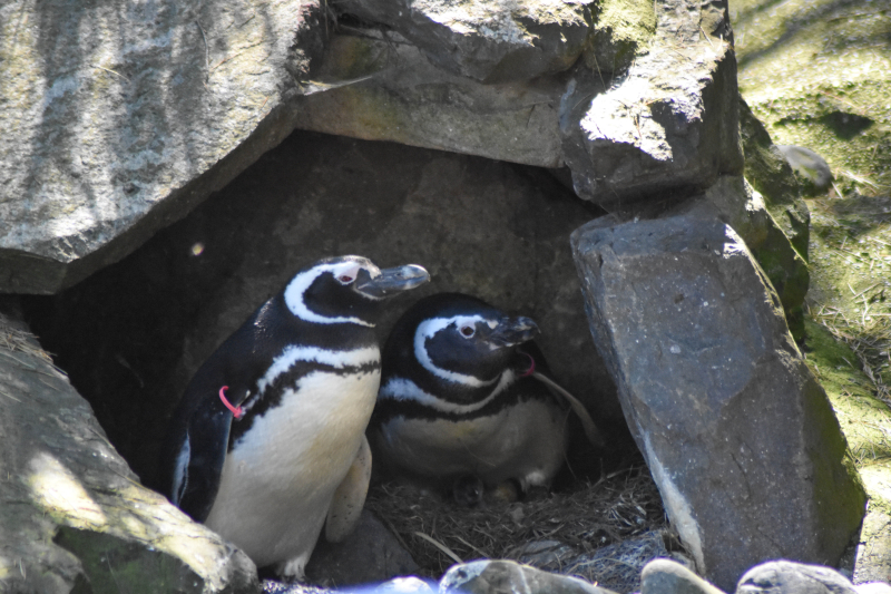 5_Penguin parents and chick 1