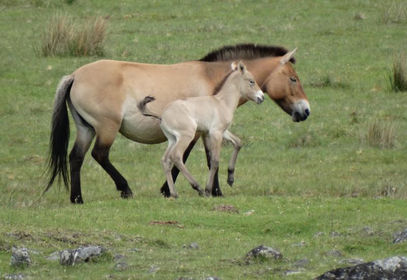 7_Przewalski's HorseFoal