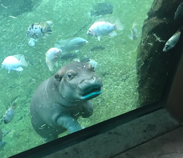 Here Is The Latest On Memphis Zoo S Sassy Hippo Zooborns