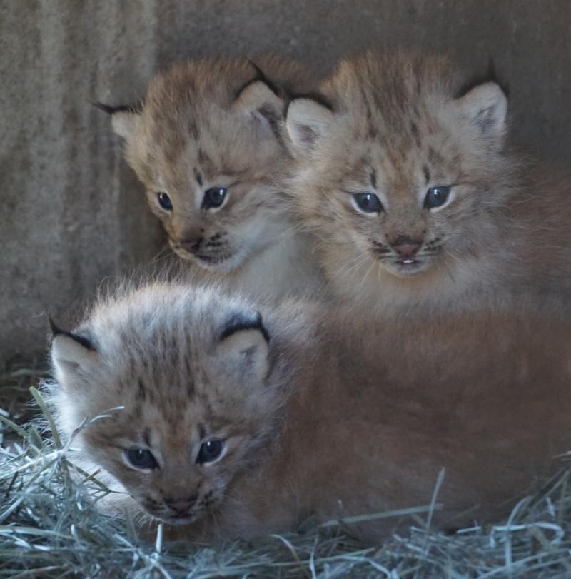 2_Lynx kittens
