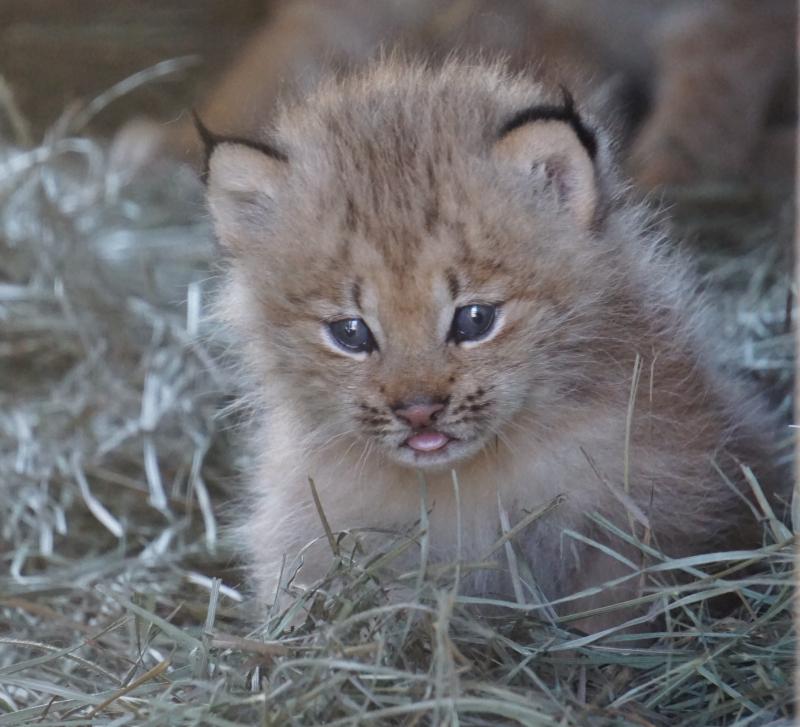 5_Lynx kittens 3