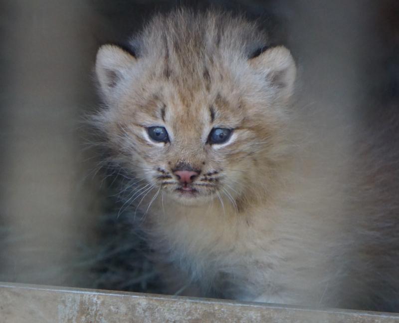 7_Lynx kittens 4