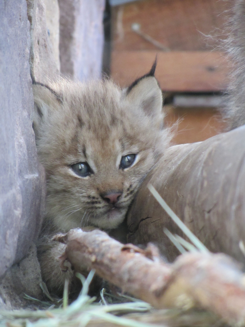 8_Lynx kittens outside -  (5)