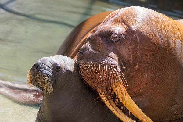 Sea World Orlando Walrus_3