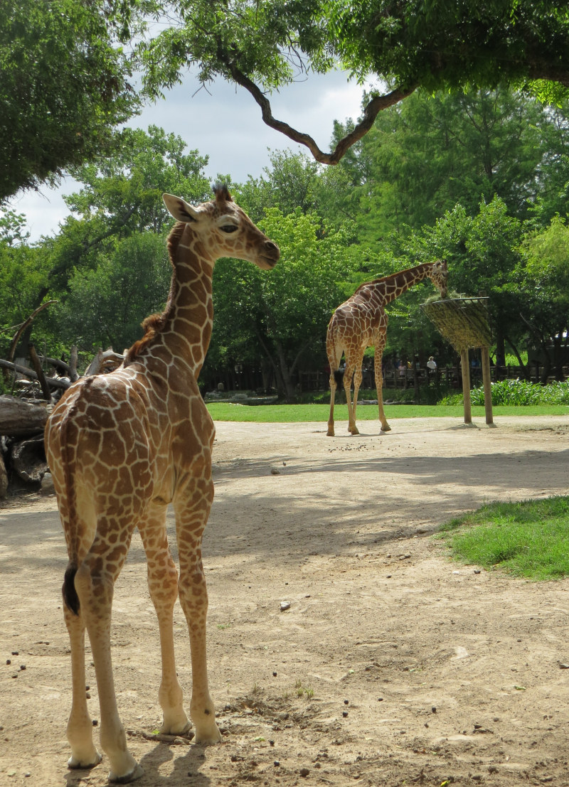 7_FWZ giraffe calf 6