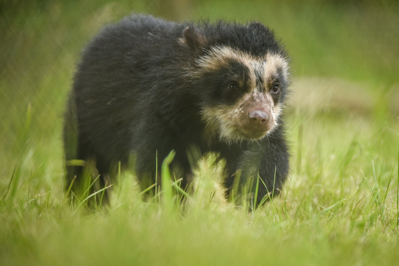 GB first. Rare Andean bear cub born at Chester Zoo (4)