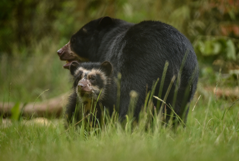 GB first. Rare Andean bear cub born to mum Lima at Chester Zoo (1)
