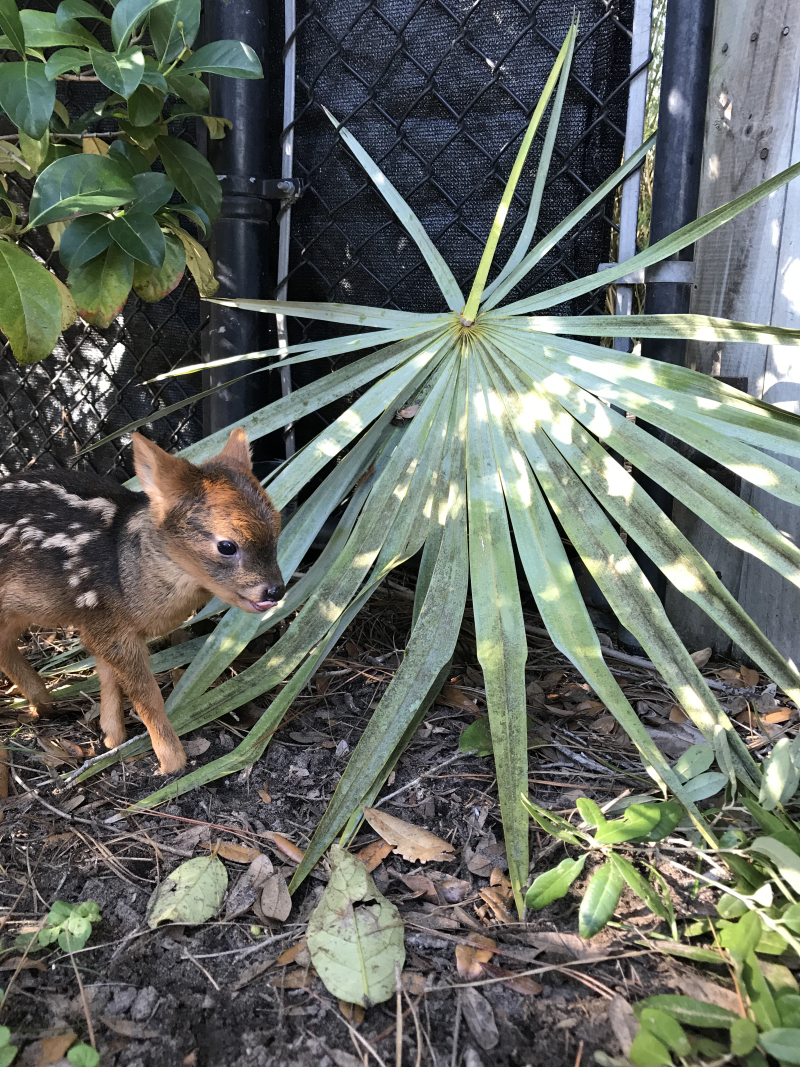8_fawn and palm frond