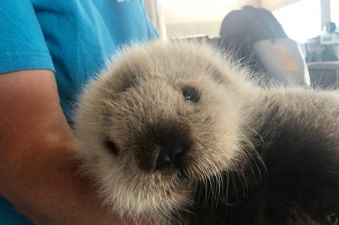 Sea-otter-pup-2017-661x440