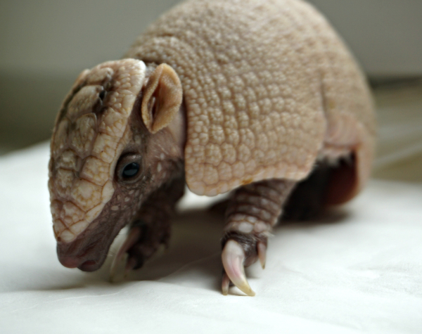 Baby Armadillo Drinks Milk From Tiny Dish Zooborns