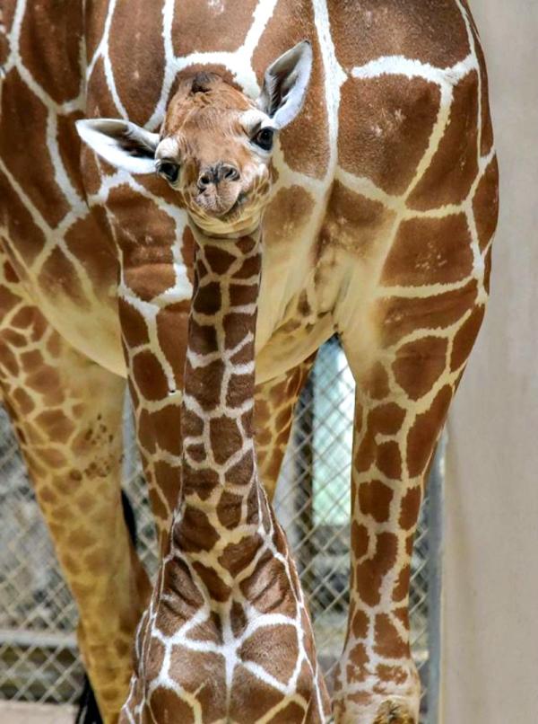 Giraffe Calf Takes Baby Steps Toward A Healthy Future