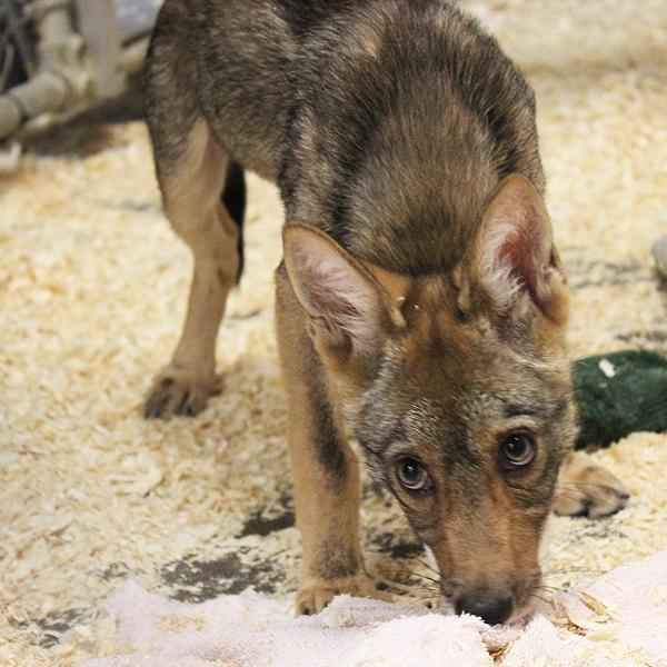 3_2017_animal_coyote