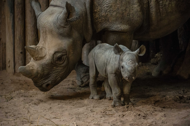 Kitani's calf was the first of the two rare rhinos to be born at Chester Zoo in a week (35)