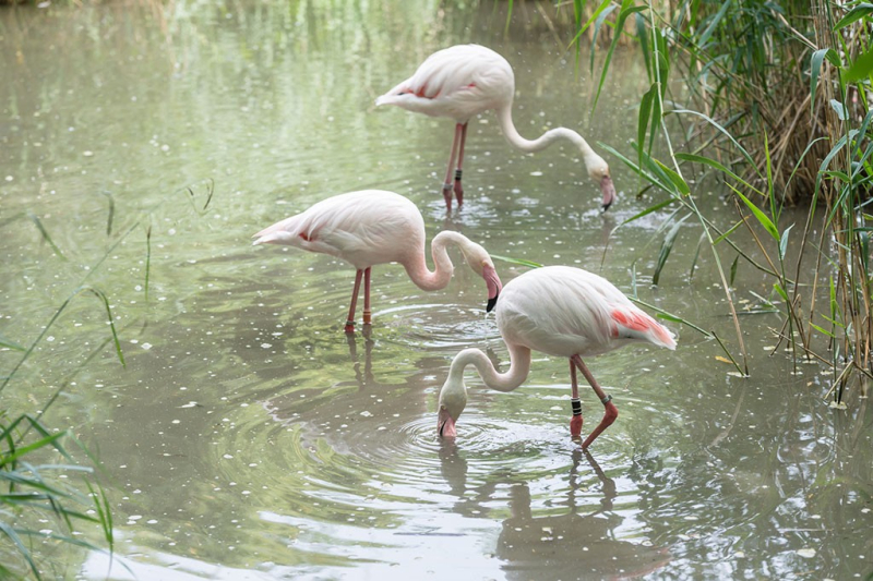 6_rosenroter_flamingo_ZOB1338