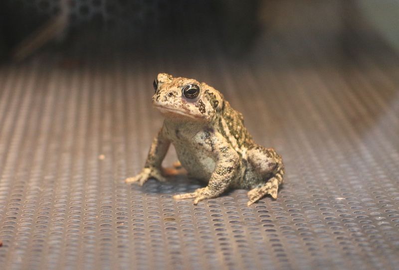 1_Wyoming toad - Jennie Miller