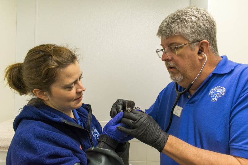 5_Gentoo Penguin chick being examined credit Casey Phillips Tennessee Aquarium