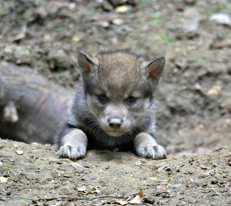 First Wolf cub seen emerging from the den (photo credit Jackie Thomas) (4)