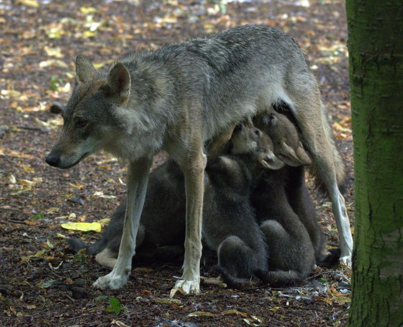 Ember feeding cubs (photo Jackie Thomas)