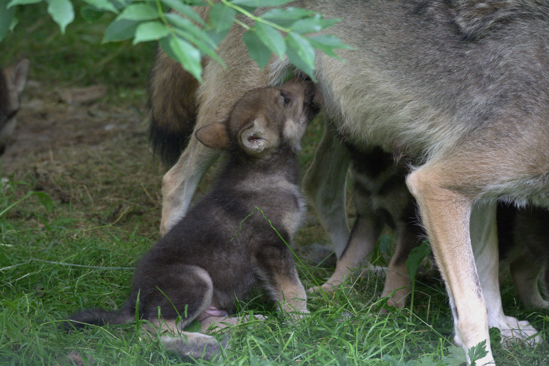 Wolf cubs 8