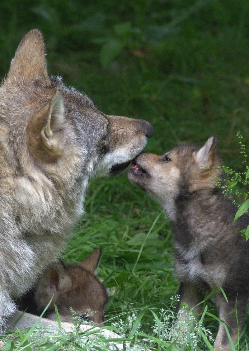 Wolf cubs 15