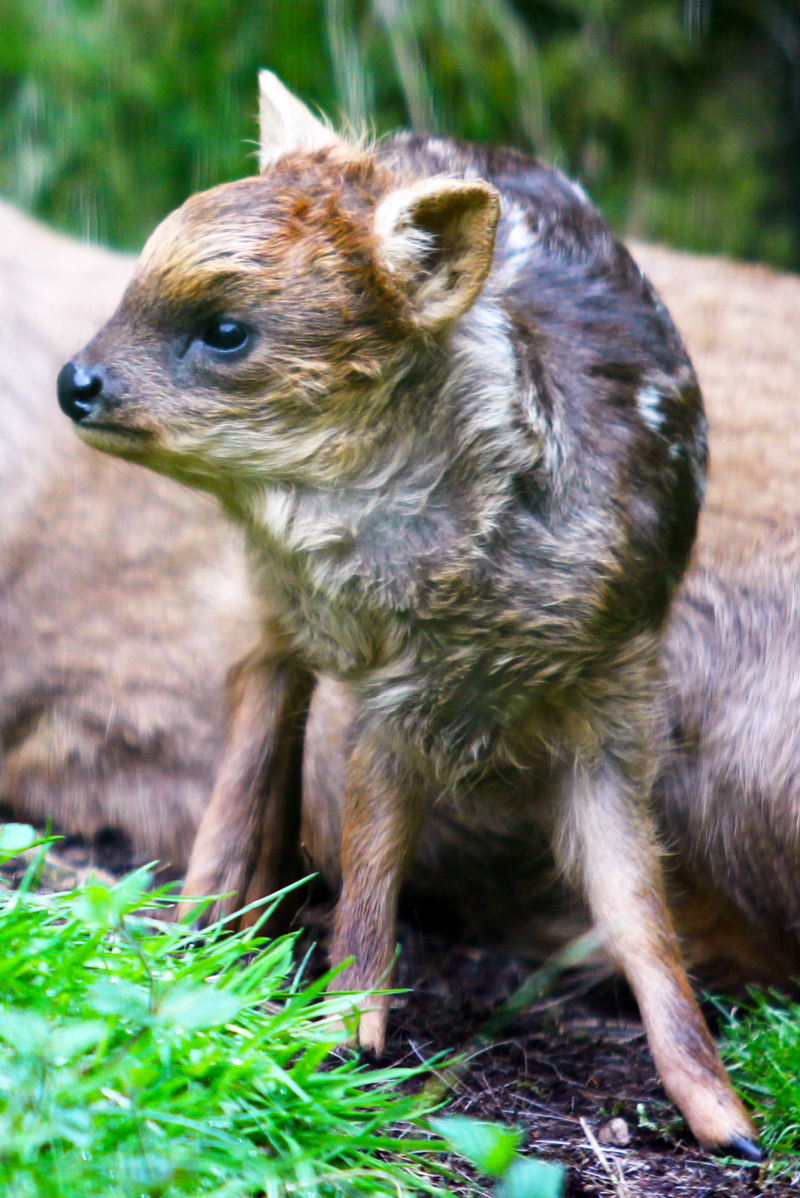 (4) .  When fawns are born they are a light brown colour and their fur is covered with small white spots.  This helps the infant to camouflage in the undergrowth.